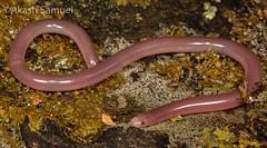 Ramphotyphlops proximus (Akash Samuel Melbourne) Tags: elusive ramphotyphlops proximus reptile blind snake akash samuel australia victoria macro