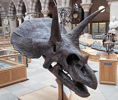 Triceratops horridus (jasjo) Tags: dinosaur history museum natural oxford skull triceratopshorridus university oumnh cast easyhdr canon canon500d efs1855mm hdr