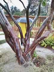 Back (cicitron) Tags: tentacules autoportrait portrait back paris rain pluie parapluie jaune branche tree umbrella yellow auteuil