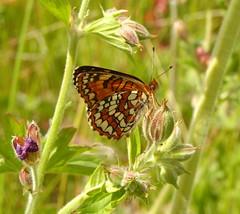 ID help please (vietnamvera) Tags: canadianbutterflies butterfliesofcanada canadianlepidoptera canadaflorafauna canadianrockies canadianrockymountains