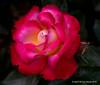 The Rose (jimgspokane) Tags: roses rosehill duncangarden manitopark flowers spokanewashingtonstate otw