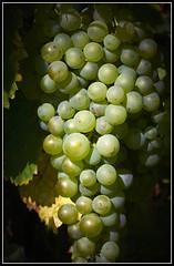 DSC01484  -  Weintrauben  -  Grapes   _03 (Max-Friedrich) Tags: cambo actus sony ilc7rm2 hasselblad hassi zeiss planar 80mm outdoor obst landwirtschaft frchte natur grapes weintrauben