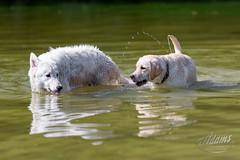 AP1608-0575 Zwemmen en Spelen (Jan-Willem Adams) Tags: adamsphotography buddy dog erkemederstrand fordjw gelderland honden janwillemadams nederland netherlands