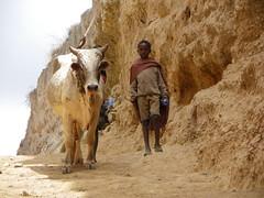 Going to the water (Borana, Ethiopia) (davidevarenni) Tags: pozzo pastore etiopia borana ethiopia tribe trib bestiame zeb