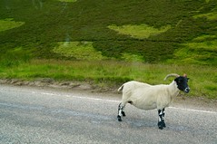Watch Out :-) (fxdx) Tags: sheep scotland nex6