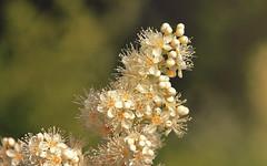 Goblin in disguise (aquigabo!) Tags: montreal summer nature plant flora flower white goblin dof depthoffield focus canon aquigabo eos rebel dsrl t5i 700d