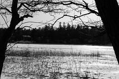 B&W (Jori Samonen) Tags: winter snow ice plant tree seurasaari island meilahti helsinki finland nikon d3200 180550 mm f3556 nikond3200 180550mmf3556