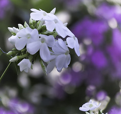 Phlox Bloom (mahar15) Tags: bokeh phlox flower flowers nature outdoors bloom blooms phloxpaniculatadavid whiteflower whitephlox