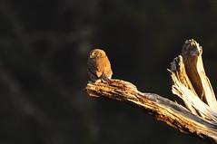 Northern Pygmy Owl (Iftekhar Naim) Tags: bird owl pygmyowl northernpygmyowl nature birdinginwild ecolastatepark oregon