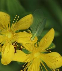 Chrysopidae (Phil Arachno) Tags: chrysopidae heftrich hessen germany arthropoda insecta neoptera neuroptera
