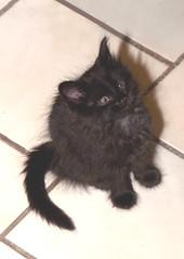 Cute Kitty (dblees) Tags: cat gato chat kitty  koka kat kissa katze gatto kot pisic maka katt  kedi con mo       gata