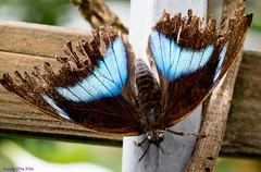 K46A8072 (Yvonne23021984) Tags: schmetterling butterfly hamm germany deutschland maxipark markro photography macrophotography canon canonphotography markofotografy canoneos7dmarkii insects insekten nature naturfotografie naturephotography closeup colorkey schmetterlinge butterflies