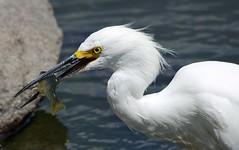 IMGP8862 (CatseyeGomez) Tags: nevada virginia lake bird reno snowy egret