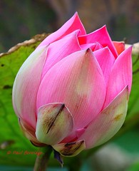 Nelumbo nucifera, Sacred Lotus (paulberridge) Tags: sacredlotus nelumbonucifera lotusflower lotus flower pinklotus seedpod pink yellow white australia cairns queensland mareeba plant nature outdoors pond water