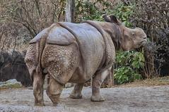 World Rhino Day 2016 (ucumari photography) Tags: ucumariphotography rhino rhinoceros indianrhinoceros rhinocerosunicornis cincinnati ohio zoo march 2014 animal mammal dsc5737