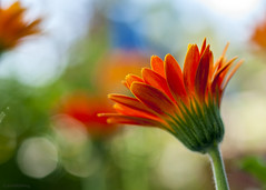 Gerbera Hazy Daisy (phoGARDENtog) Tags: csu macro flowers orange fortcollins colorado annualflowertrialgarden bokeh