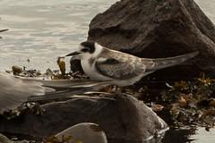 Black Tern. juv (neilblack754) Tags: arbroath black tern angus