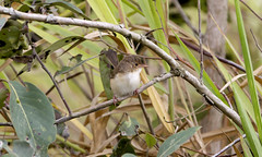 IMG_9451 (Dan Armbrust) Tags: armbrust danarmbrust queensland australia australianbirds julatten 7d cannon