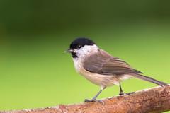 Marsh Tit / Sumpfmeise (oliver.herbold) Tags: marshtit sumpfmeise bird vogel songbird singvogel gardenbird bokeh backdrop hintergrund wildlife tier animal outdoor oliverherbold