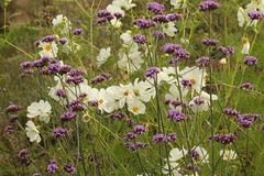 Whites and Purples (Henry Hemming) Tags: autumn whitecosmos cosmos cosmonaut verbenabonariensis garden white purple
