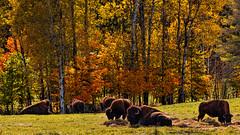 The American bison  Le bison d'Amrique du Nord (Chizuka2010) Tags: feuillage colours fall fallcolours couleursdautomne trees arbres bison bisonbison buffalo omegapark parcomga montebello