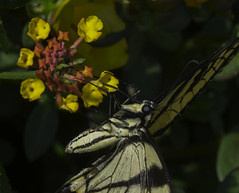 Butterfly_SAF8999-3 (sara97) Tags: butterfly copyright2016saraannefinke flyinginsect insect missouri nature outdoors photobysaraannefinke pollinator saintlouis towergrovepark swallowtail easterntigerswallowtail yellow black papilloglaucus