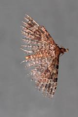 twenty plumed moth  (Explore) (DODO 1959) Tags: wildlife wales nature macro insects moth canon sigma150mm 7d twentyplumedmoth fauna outdoor