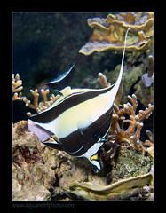 PDORzanclus5422 (kactusficus) Tags: aquarium captive marine reef fauna fish coral paris france palais portedore doree tropical tropicaux zanclidae zanclus cornutus maure idole moorish idol