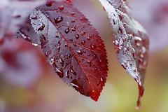 *** (pszcz9) Tags: polska poland przyroda nature natura li leaf kropla raindrop zblienie closeup bokeh beautifulearth sony a77