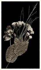 Scanography again (moggafogga) Tags: scanography blackandwhite flower rahmen scanner ohnekamera