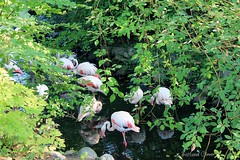 Pink flamingos. Berlin Zoo. Germany. (Svitlana Clover) Tags: berlin germany europe vacation traveling autumn canoneos550d zoo animals trees leaves white green journey tour outdoor flamingos water river pink
