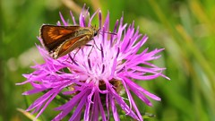 Lulworth Skipper 110816 (12) (Richard Collier - Wildlife and Travel Photography) Tags: insects wildlife naturalhistory british butterflies lulworthskipper skipper macro