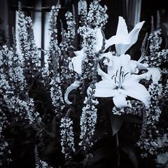 Vintage Lilly (Hkan Skog) Tags: garden bw flowers filmisnotdead vit ilfordsportsman lilly lilja lightroom analog white