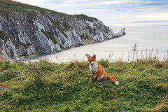 Red Fox (Fazer44) Tags: red redfox animal isleofwight wild wildlife fox