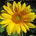 Sunny+Sunflower