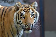 Bengal tiger cub - Olmense Zoo (Mandenno photography) Tags: dierenpark dierentuin dieren animal animals belgie belgium bigcat big cat tiger tijger tigers bengal olmense olmensezoo olmen balen