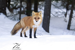 Sweet girl (Seventh day photography.ca) Tags: redfox fox animal mammal predator wildanimal wildlife spring snow ontario canada forest