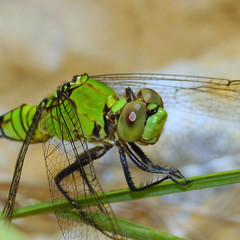 is it WWW yet ;-)) (aokcreation) Tags: color macro green nature closeup garden insect backyard dragonfly bokeh wildlife ngc common pondhawk naturesfinest anawesomeshot coth5 blinkagain wannawarmerwednesday sonyslta65v