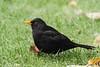 Male Blackbird. (mick revell) Tags: blackbird freedomtosoarlevel1birdphotosonly