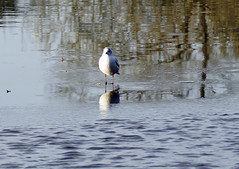 Stuck on thin ice (Rovers number 9) Tags: england bird ice water december minolta sony dec lancashire 2012 a65 sonya65 yahoo:yourpictures=winterv2 yahoo:yourpictures=reflectionsv2