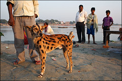 Tiger Dog - Sonepur, India (Maciej Dakowicz) Tags: dog india animal asia fair event unusual mela bihar sonepur sonepurmela