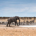 "Elephant scaring lions with Zebra watching in Etosha National Park, Namibia • <a style=""font-size:0.8em;"" href=""https://www.flickr.com/photos/21540187@N07/8291791325/"" target=""_blank"">View on Flickr</a>"