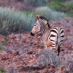 "Hartmanns Mountain Zebra in Etendeka Tablelands, Namibia • <a style=""font-size:0.8em;"" href=""https://www.flickr.com/photos/21540187@N07/8291797815/"" target=""_blank"">View on Flickr</a>"