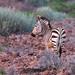 "Hartmanns Mountain Zebra in Etendeka Tablelands, Namibia • <a style=""font-size:0.8em;"" href=""https://www.flickr.com/photos/21540187@N07/8291797815/"" target=""_blank"">View on Flickr</a>"
