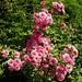 Les couleurs de l'été, roses des jardins de Coursiana, La Romieu, Gers, Midi-Pyrénées, France.
