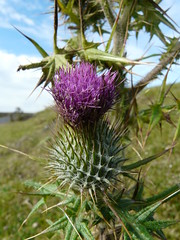 thistle (gregwake) Tags: plants green grass rural countryside durham countydurham gbr weardale durhamdales