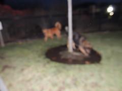 DSCN0171 (rlg) Tags: bear rescue dog male animal goldenretriever mammal 22 mutt jasper december texas saturday gr kp 2012 1222 fpr chaseme nikonp510 28nov09 201212 20121222 12222012 jasperrg