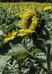"""Sunflower looks to the West • <a style=""""font-size:0.8em;"""" href=""""http://www.flickr.com/photos/44019124@N04/8310971176/"""" target=""""_blank"""">View on Flickr</a>"""