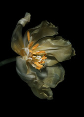 Tulip (bbclare) Tags: life camera light stilllife flower rotting dutch amsterdam dark painting botanical photography death golden leiden photo petals still intense nikon paint flat photos decay rott background painted fineart seeds stamens petal photograph age tulip theme goldenage vermeer blooms van baroque dying flemish chambers rembrandt thehague stigma decaying stilllifes filaments willem tulipa realism individual obscura vanitas wilt unreality lobes ovaries liliaceae sepals ostentatious fundamental liliales angiosperms tepals endosperm nikond90 discshaped aelst basifixed lilioideae pronkstilleven nikkorafsvrmicro105mm