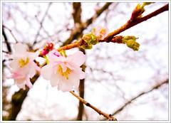 1-52-2013 - Fresh Starts (Free 2 Be) Tags: pink flower tree blossom week1 cherryblossom cherrytree 52 p52 2013 52weekproject 52weekchallenge postaweek weekofjanuary1 52weeks2013 52weeksthe2013edition 522013